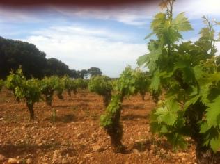 Les vignes.... grâce auxquelles le rosé reste frais !